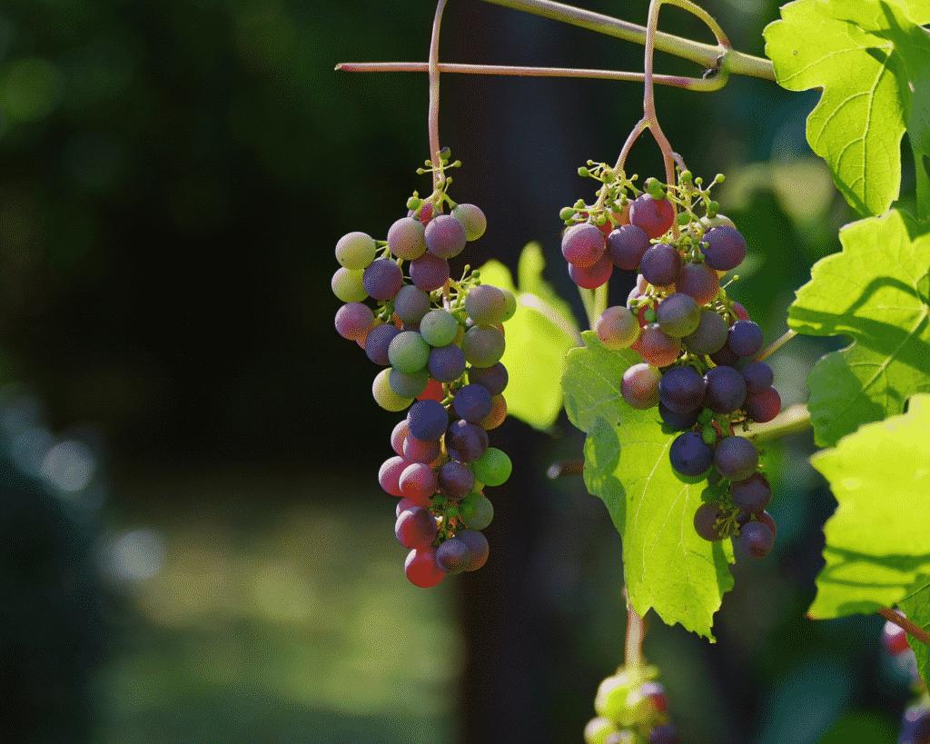 grapes hanging on vine