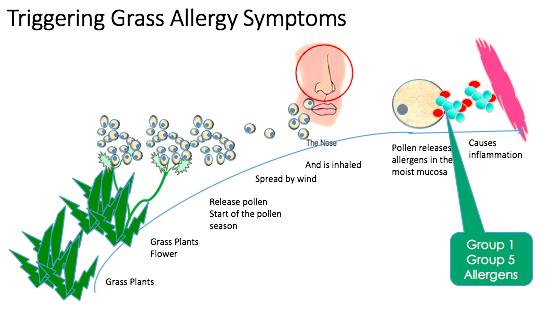 grassallergysymptoms