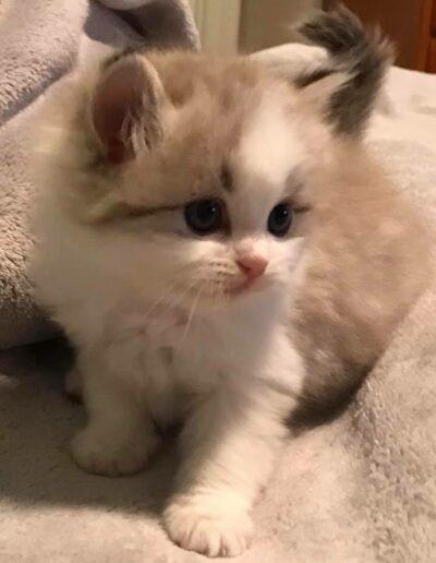 Xpression RagaMuffins Kittens