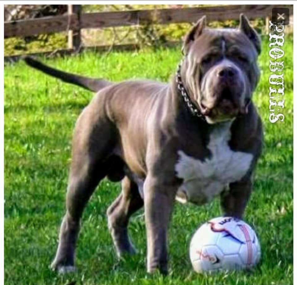 probulls beast tattoo greyline or grayline bllod
