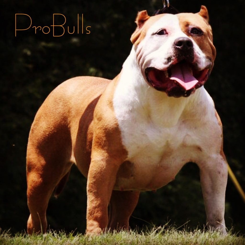 bull nose pitbull puppies