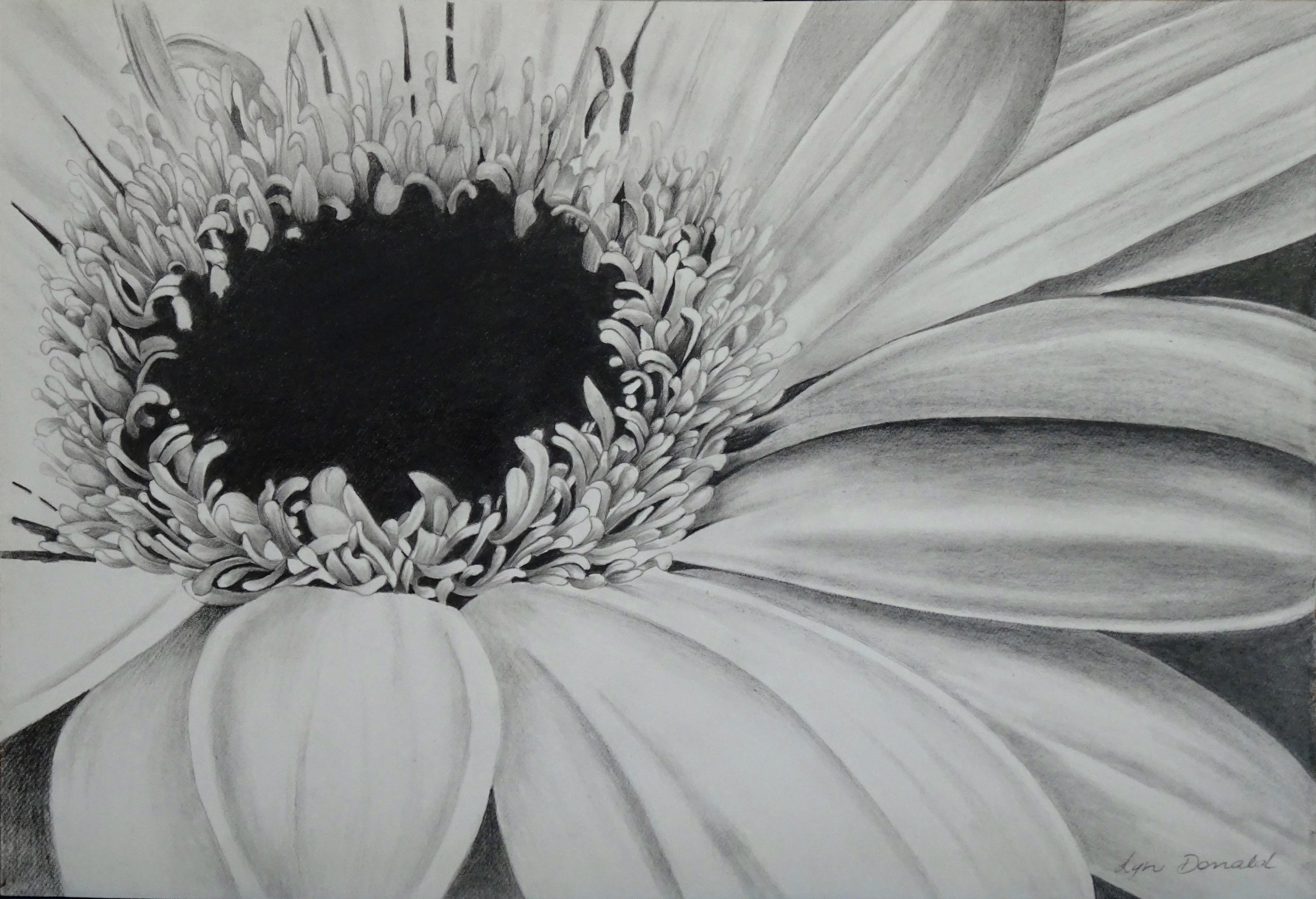 Daisy-Graphite