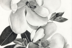 Magnolia -graphite
