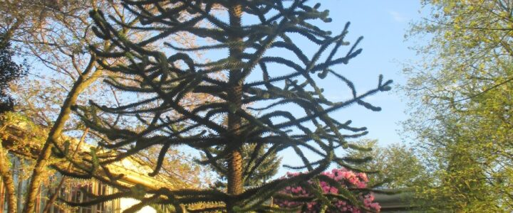 Fun Fact #26 The seedlings of Portland's Heritage Monkey Puzzle Trees citywide can trace their origins to what Slabtown Event?