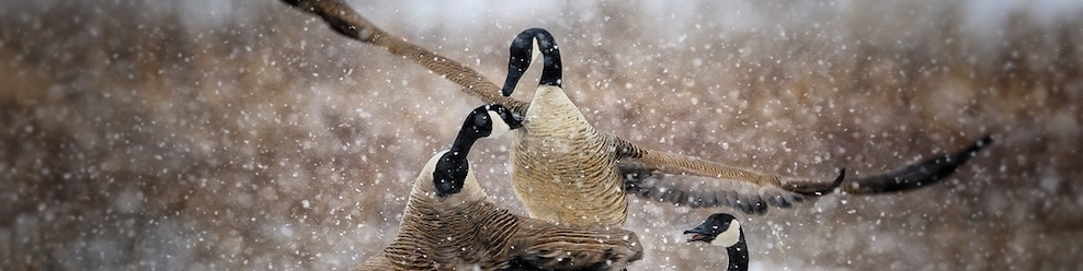 Of Angry Geese, and War and Peace