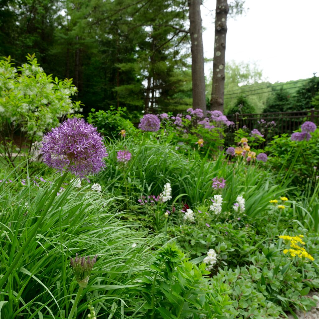 Late Spring Garden Featuring Allium
