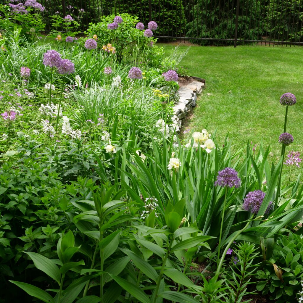 Spring Garden with Allium