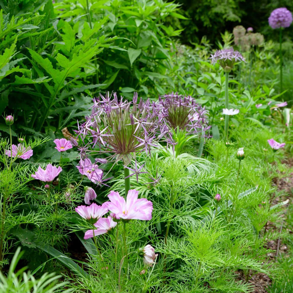 Whimsical Spring Pairing of Allium & Cosmos