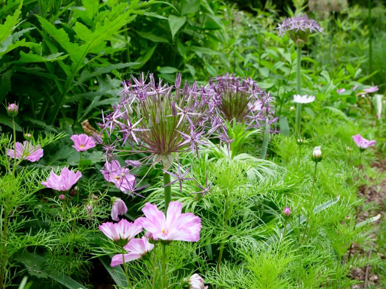 Whimsical Pairing of Allium & Cosmos