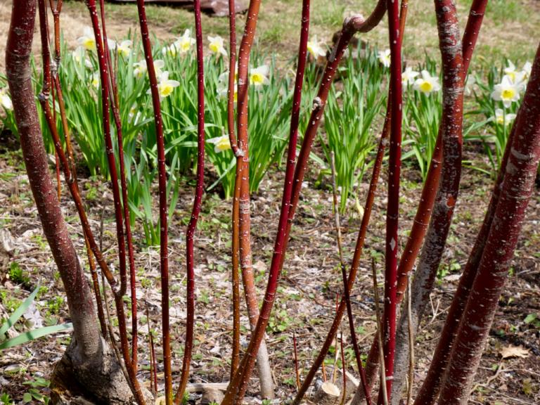 Red Twig Dogwood & Daffodil