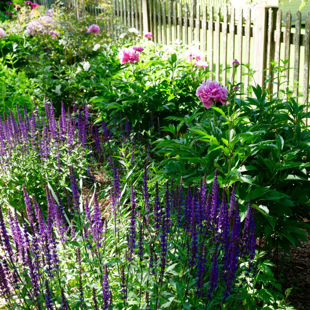 Late Spring Garden Featuring Peonies & Salvia