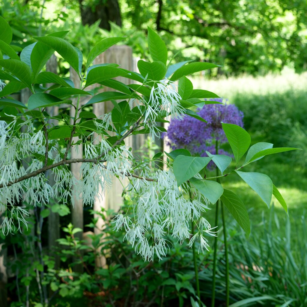 Fringe Tree Close Up w/ Allium