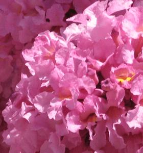 Tabebuia Pink