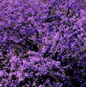 Tabebuia Purple