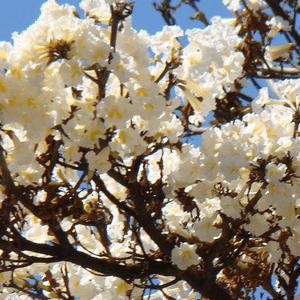 Tabebuia White