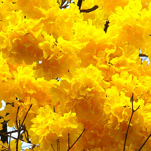 Tabebuia Yellow
