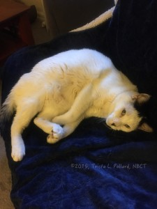 male white cat Icaruss