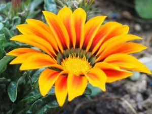 Beautiful flower with orange and dark orange petals and green leaves to represent the sunny day in Windsor for the Royal Wedding.
