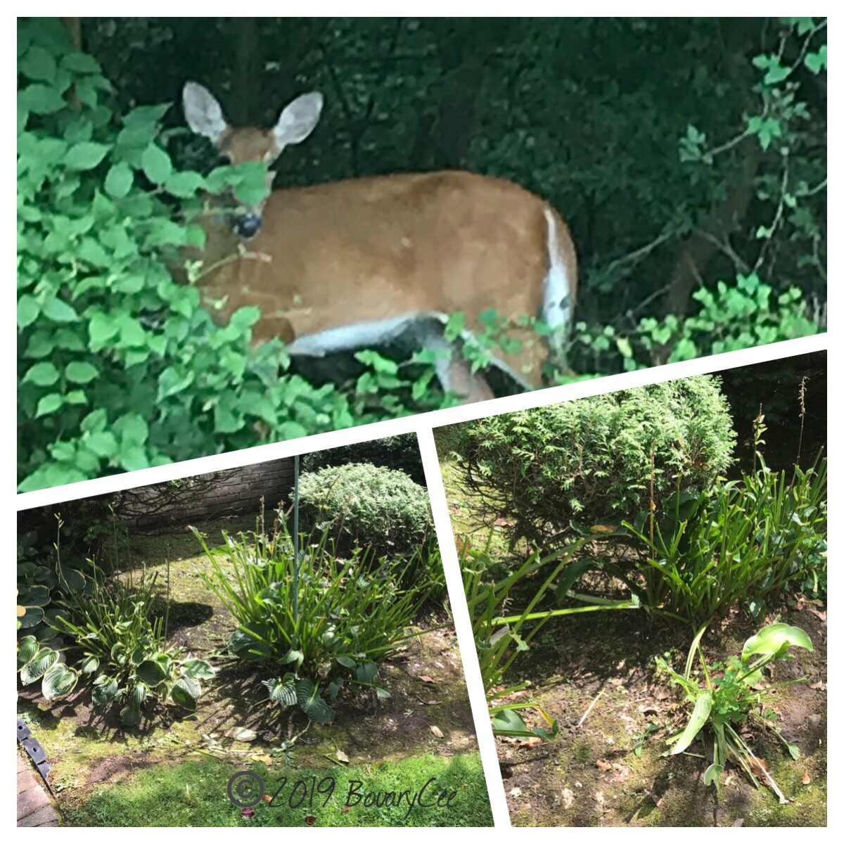Deer in woods and hosta with leaves eaten