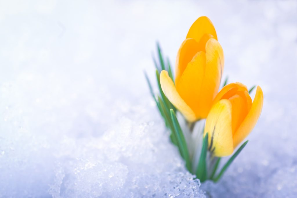Two yellow crocus flowers in snow