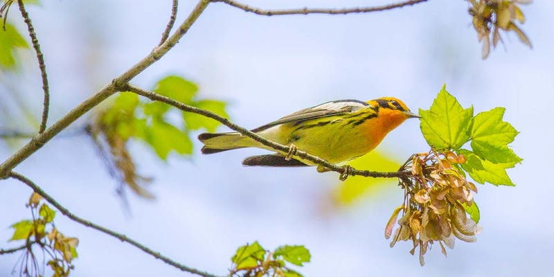 A Bird-Walk in Central Park: Come enjoy the Spring Migration!