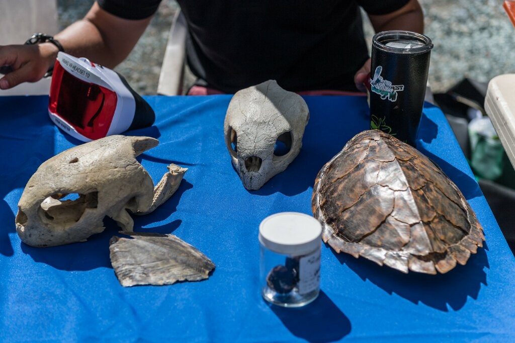 Fossils of preserved sea turtles