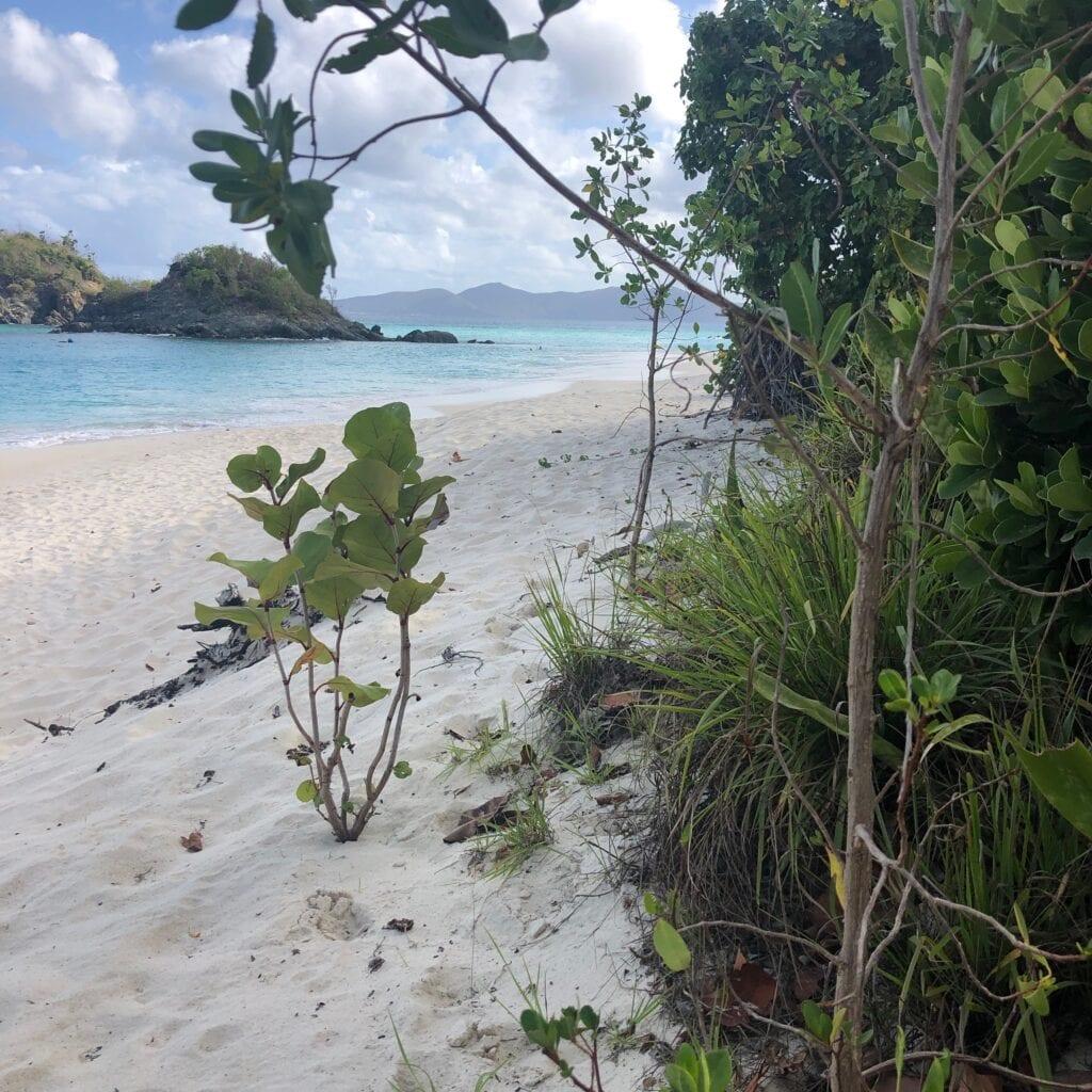 Mangrove plants by the beach
