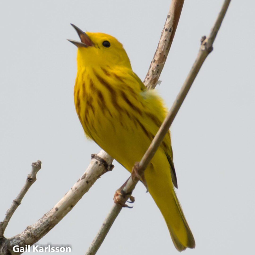 yellow-warbler-2-gail-karlsson-4171-1