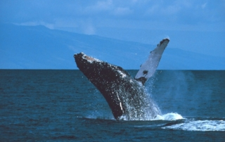 Maui humpback whale breaching offshore
