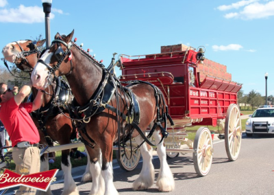 Budweiser Clydesdales visit Tampa Bay