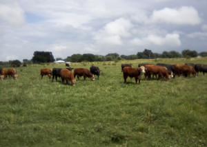 Heifers_farmpage_web