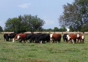 Heifers_july_2015_farmpage_web