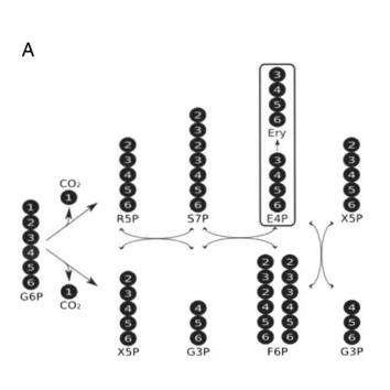 Эритритол из пентозофосфатного пути