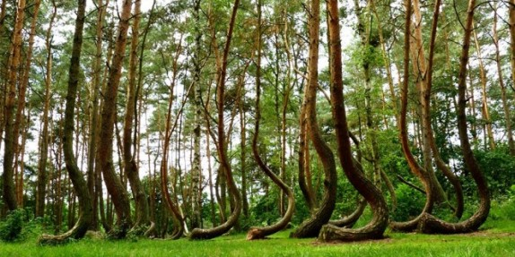 Nature-Crooked-Forest-wallpaper-660x330