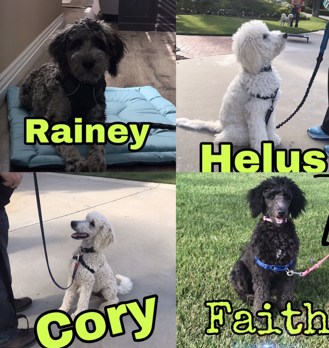 therapy dogs in training