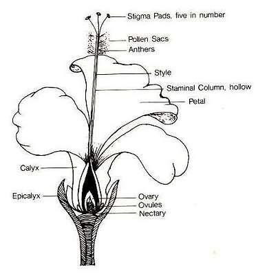 hibiscus parts