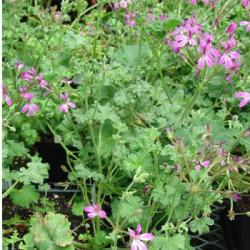Growing & Cooking with Scented Geraniums & Other Herbs @ Justice Center | Monroe | Wisconsin | United States