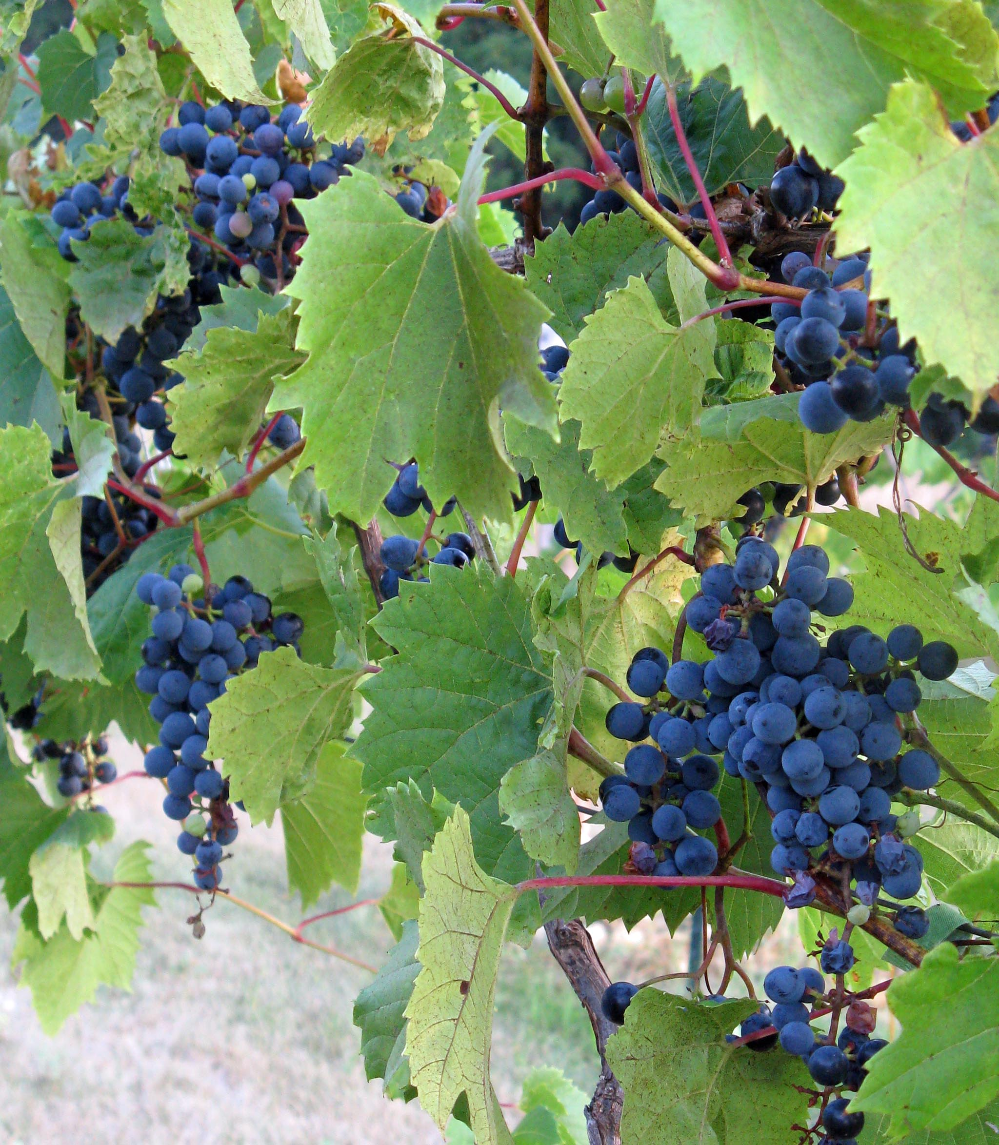 Growing Grapes for Winemaking