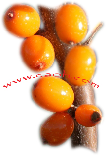 Sea Buckthorn Oil is Obliphica Oil and Obiphica Oil is Sea Buckthorn Oil – in Israel