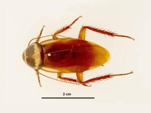 Austrailian Cockroach