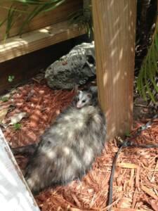 opossum n baby
