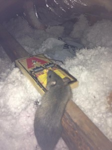 rat in trap