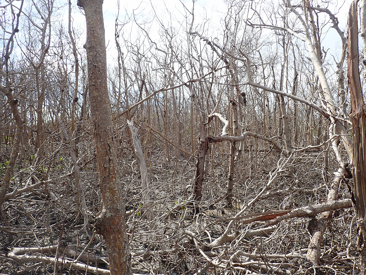 Example of severe damage to a mangrove forest in the Ten Thousand Islands due to Hurricane Irma. This site was directly under Irma's path as a Category 3 storm and was found to have complete loss of leaves in the canopy (defoliation) and numerous downed trees. Canopy cover is typically 80-100% in non-impacted forest.