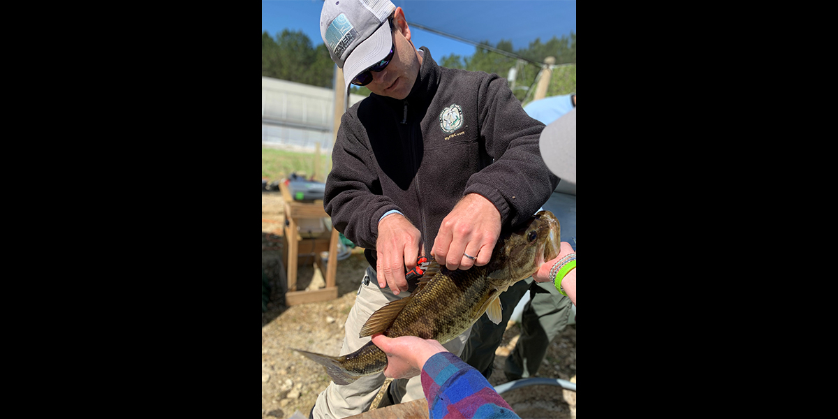 biologist removing largemouth bass dorsal spines III-V with a pair of cutting pliers