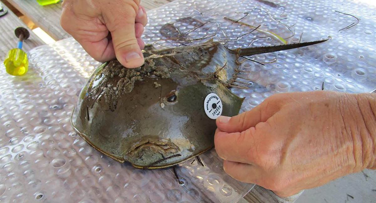 attaching tag to horseshoe crab