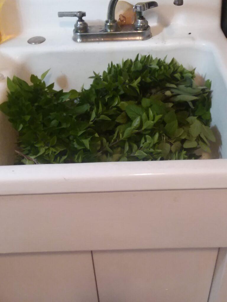 A sinkful of herbs