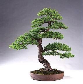 ship bonsai trees