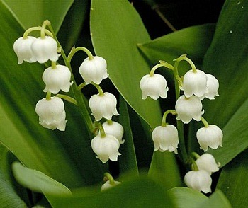 ship Lily of the Valley plants