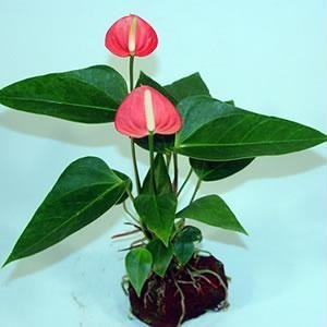 How to ship live anthurium plants