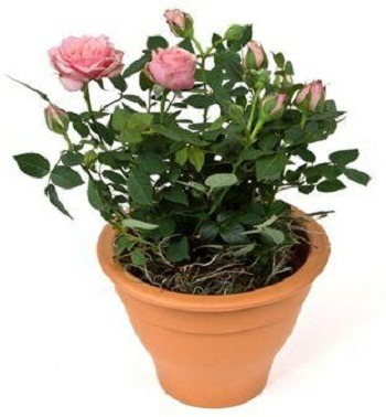 how to ship rose bushes